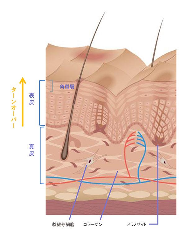 ゼオスキン セラピューティックプログラムのお肌内部