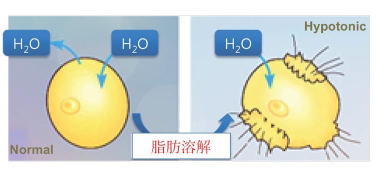 チンセラプラスの脂肪分解効果