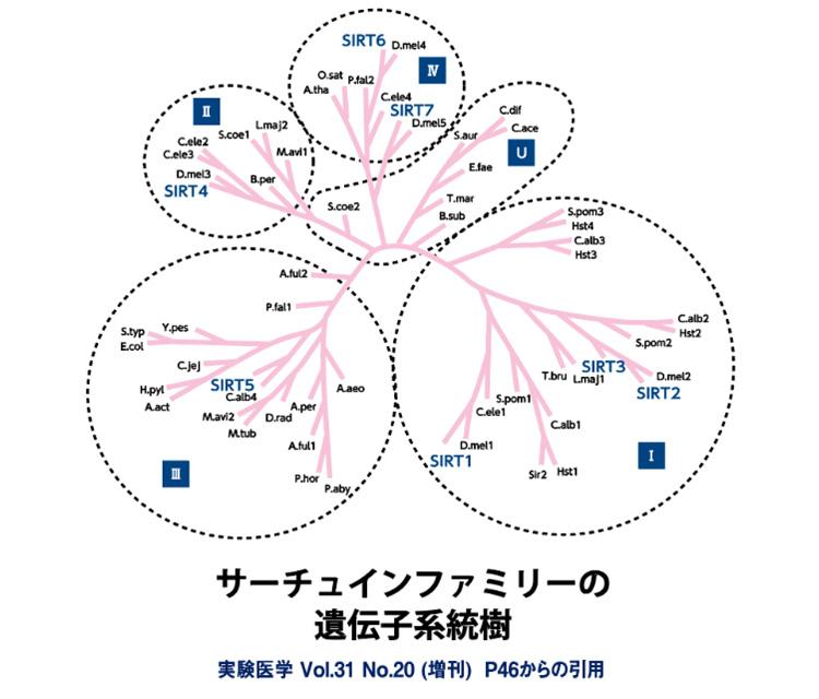 サーチュインファミリーの遺伝子系統樹
